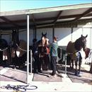 Getting ready for track work at Caloundra farm (L to R) Zoot Suit, Love Conquers All, Mentality and Rainbow Styling