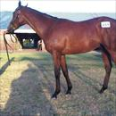 Karaka 2011 Lot 491 Zabeel x Polish Princess colt