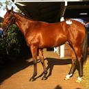 Inglis Easter Yearling Sale 2011 Lot 277 Casino Prince x Helsinge colt Black Caviar's brother and highest price yearling