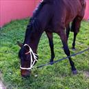 Niwot enjoying grass after winning at Flemington