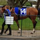 Notlistentome at Ballarat races before his magnificent Win