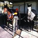 Subsequent and Zoot Suit at Coloundra farm getting ready for trackwork